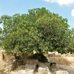 picture of fig tree in dry land